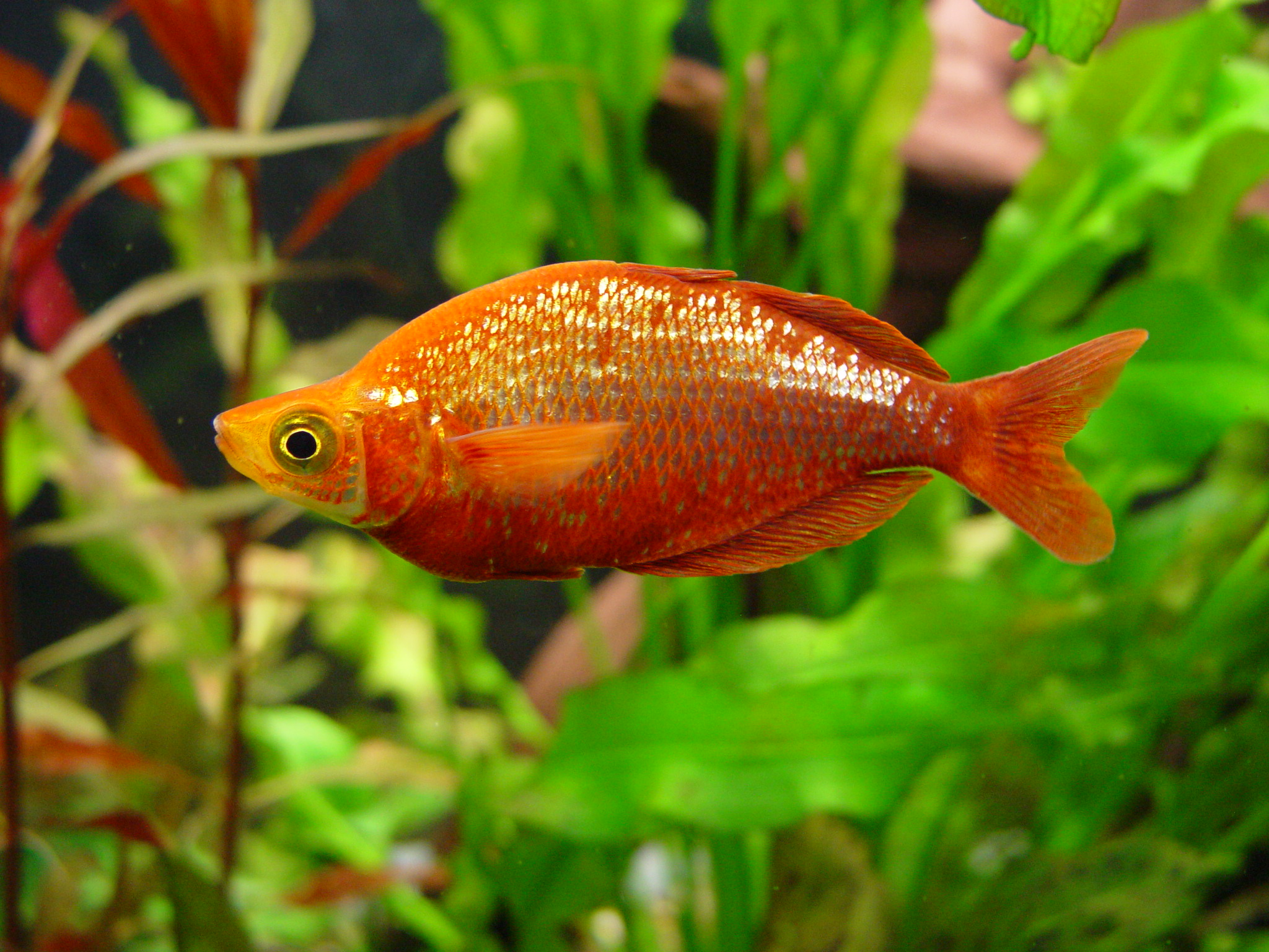 AUSTRALIAN RAINBOW FISH SPECIES